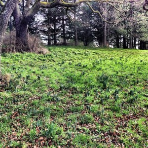 Daffodil shoots! In Beacon Hill Park. Soon, a field of flowers will arrive.